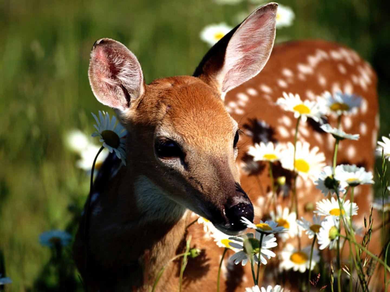 фотографии оленями красивые с
