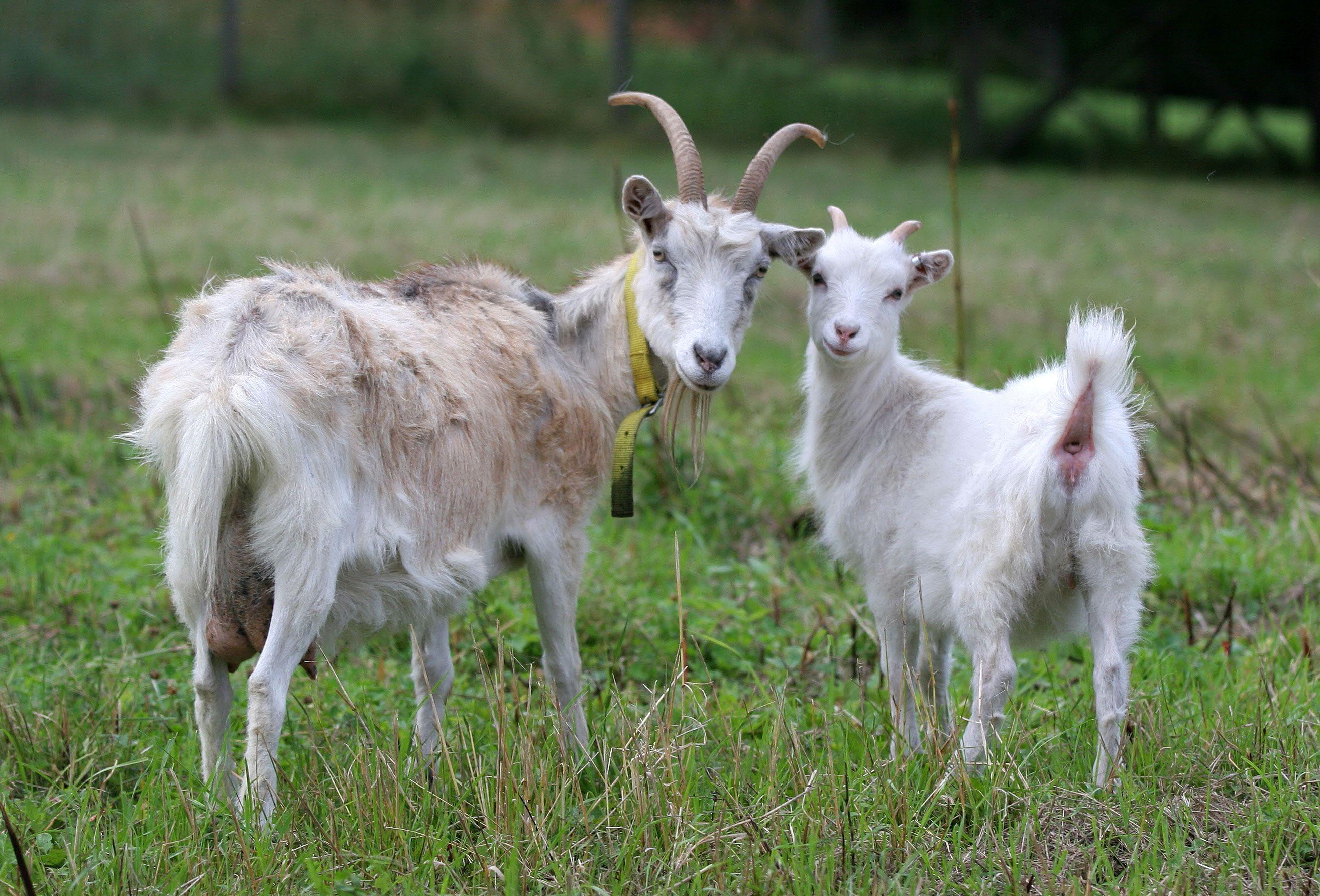 Секс козы с бараном 5 фотография