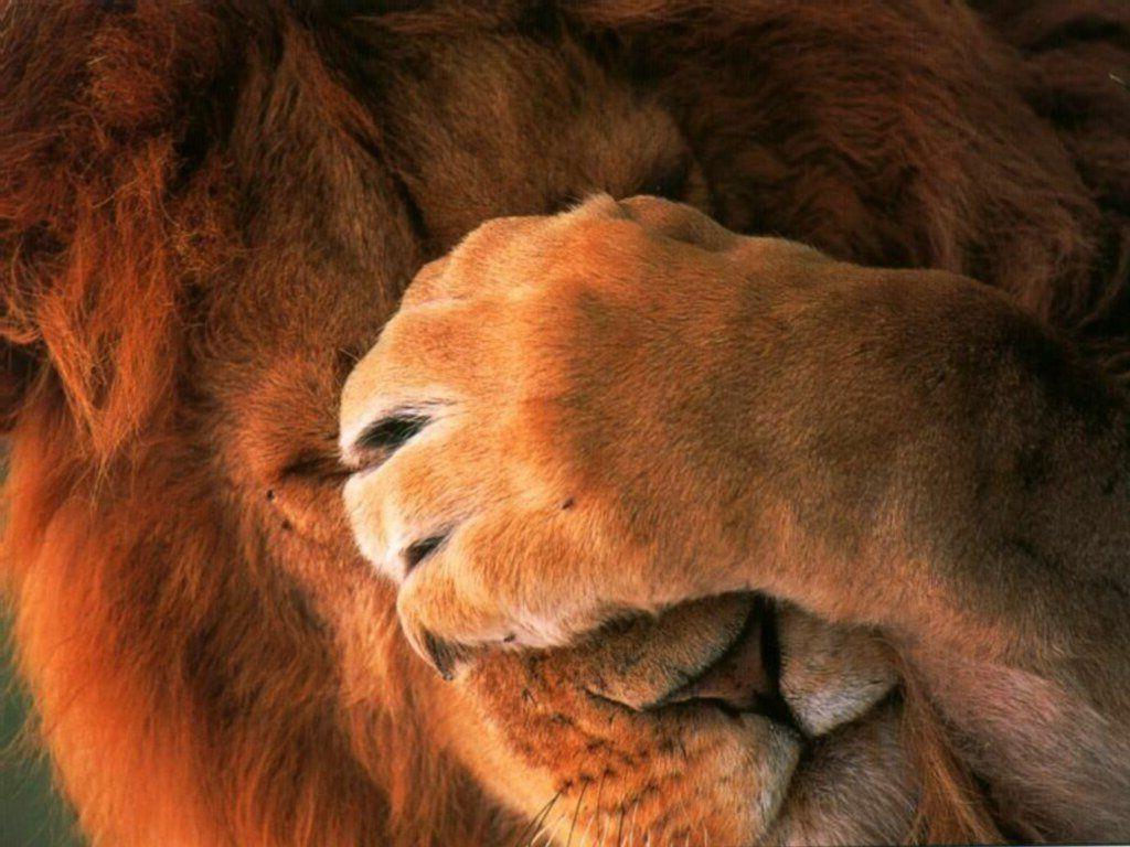 Жизнь львов в фотографии картинки и