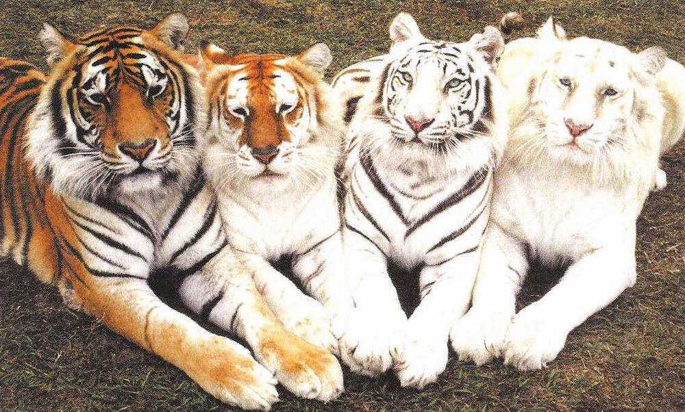 Картинки красивые с тиграми