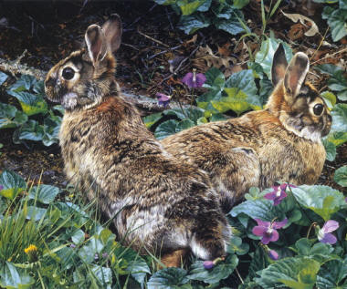 Два серых зайца либо играющие либо в
