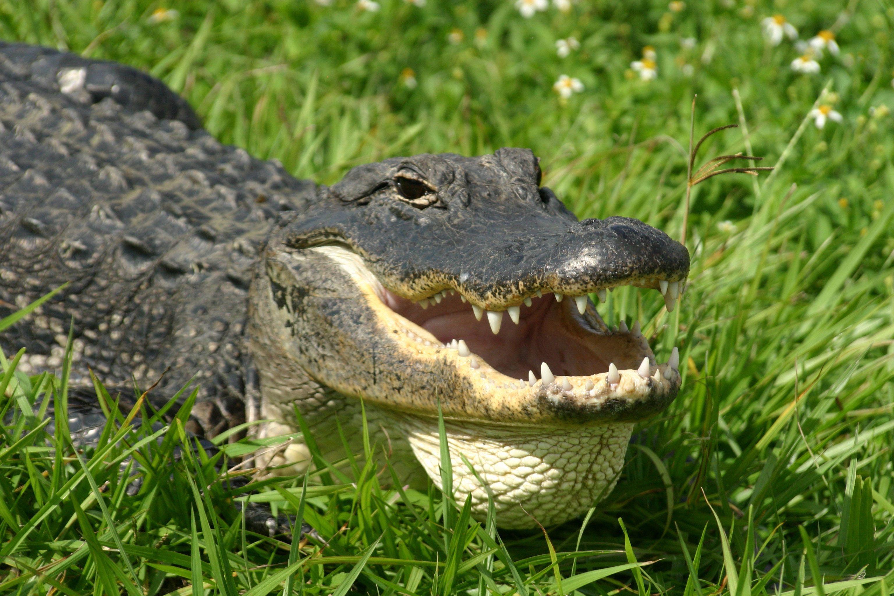 Крокодилы на фото бесплатные картинки крокодилов