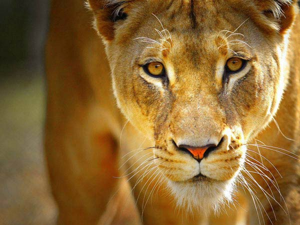 жизнь львов скачать торрент - фото 11