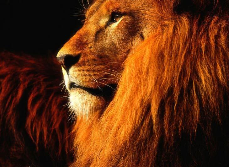 красивые фото львов
