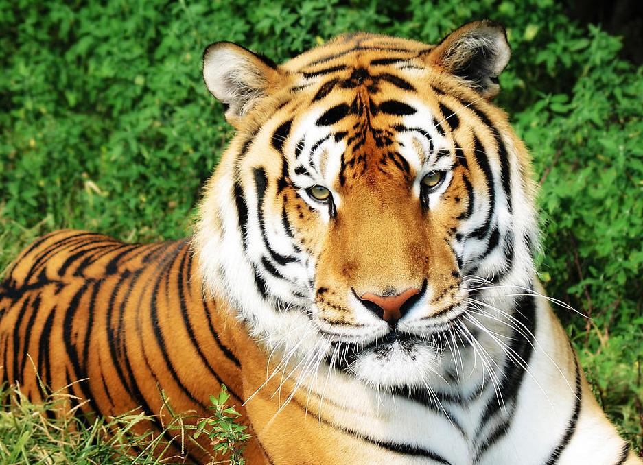 Картинки тигры зимой
