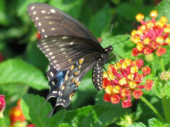 разновидности бабочек и их названия и фото Babochka_13_small