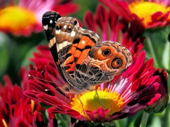 разновидности бабочек и их названия и фото Babochka_15_small