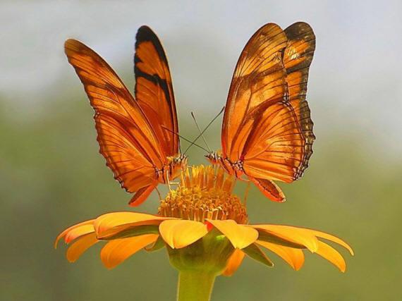 разновидности бабочек и их названия и фото Babochka_16_small