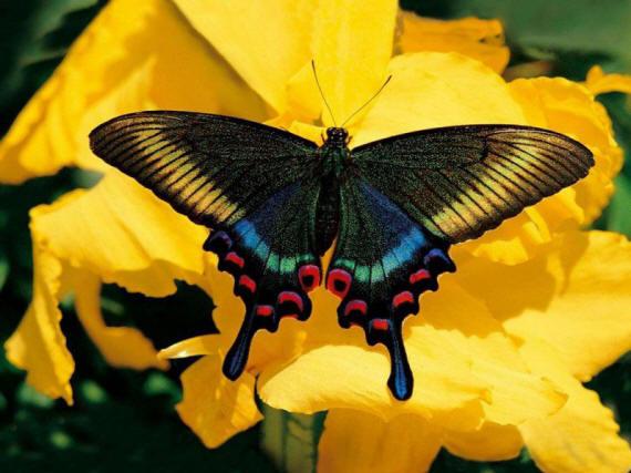 разновидности бабочек и их названия и фото Babochka_17_small