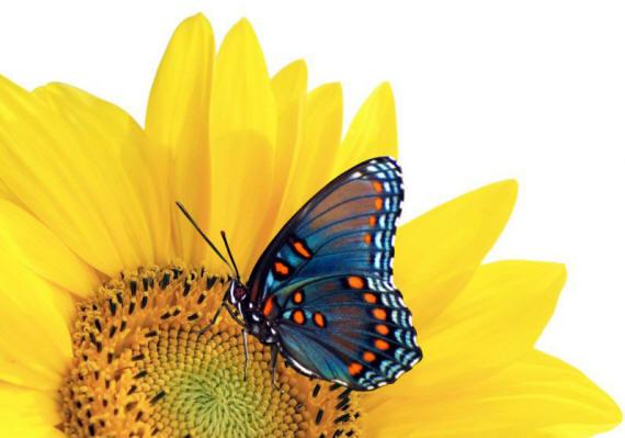 разновидности бабочек и их названия и фото Babochka_3_small