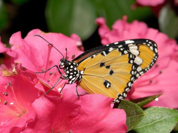 разновидности бабочек и их названия и фото Babochka_7_small