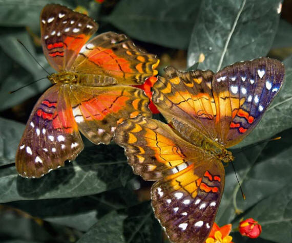 разновидности бабочек и их названия и фото Babochki14_small1