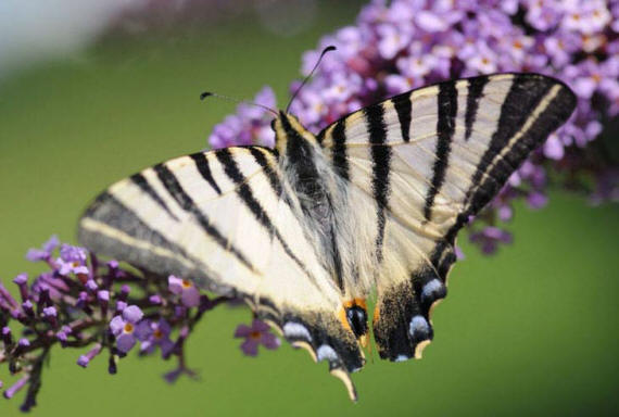 разновидности бабочек и их названия и фото Babochki19_small1