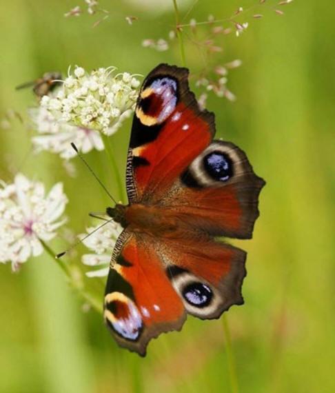 разновидности бабочек и их названия и фото Babochki21_small1