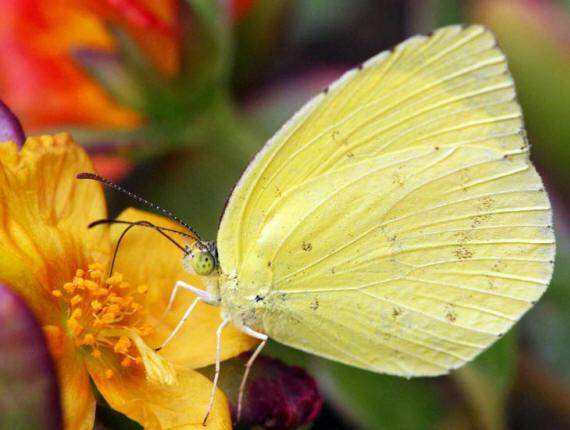разновидности бабочек и их названия и фото Babochki25_small1