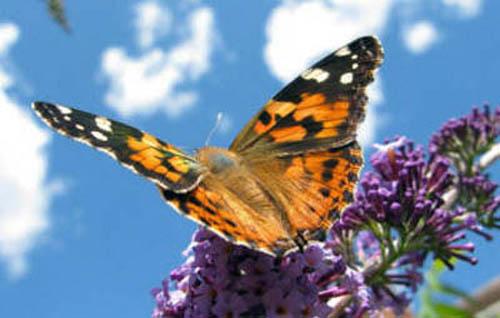 разновидности бабочек и их названия и фото Babochki26_small