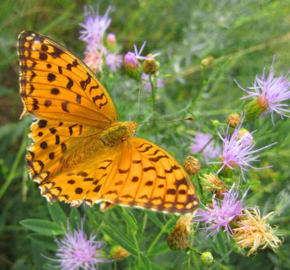 разновидности бабочек и их названия и фото Babochki29_small1