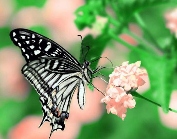 разновидности бабочек и их названия и фото Babochki32_small1
