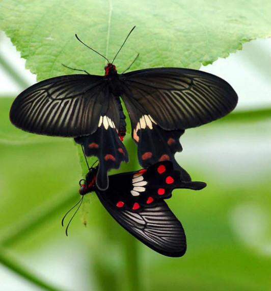 разновидности бабочек и их названия и фото Babochki34_small1