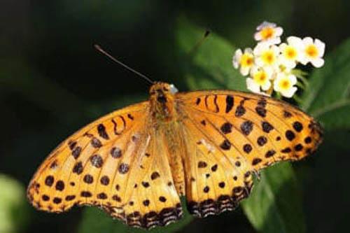 разновидности бабочек и их названия и фото Babochki35_small
