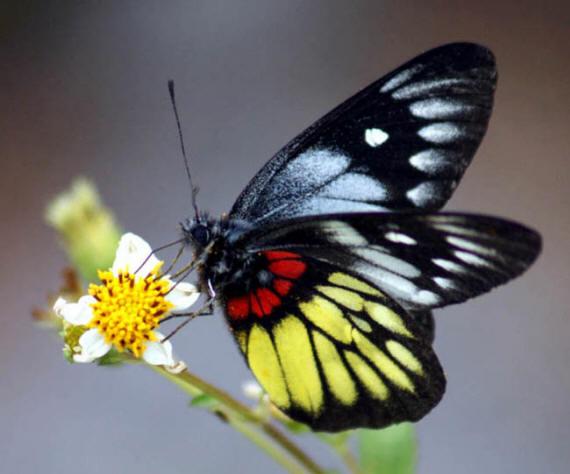 разновидности бабочек и их названия и фото Babochki4_small3