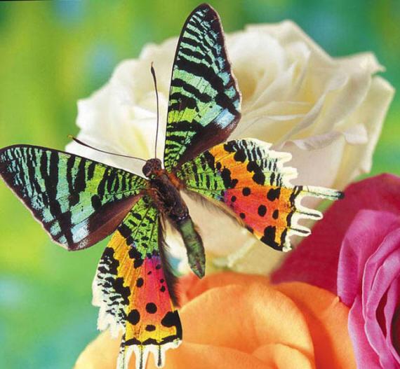 разновидности бабочек и их названия и фото Babochki5_small2