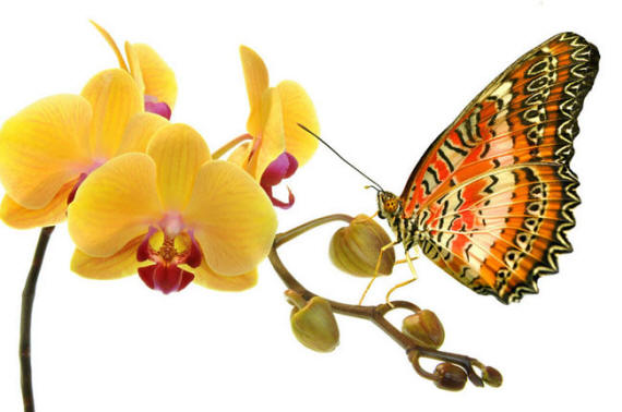 разновидности бабочек и их названия и фото Babochki5_small3