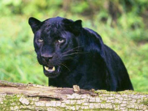 Black leopard teeth