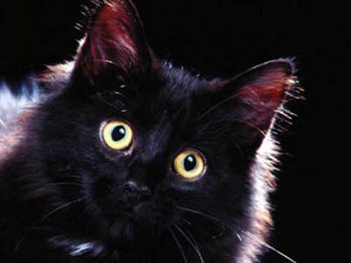 black cat superstition essays