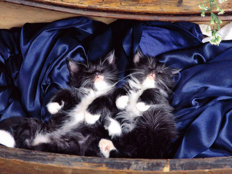фото котята пушистые белые черно
