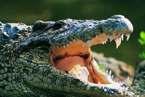 жуткая пасть крокодила
