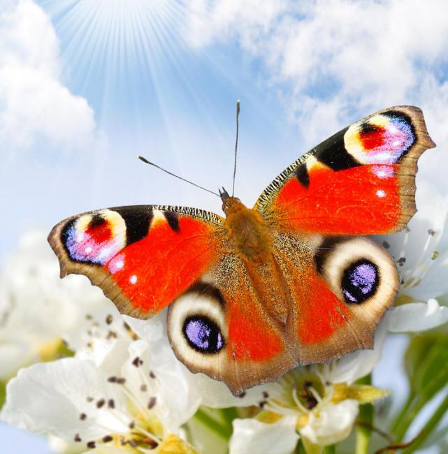 разновидности бабочек и их названия и фото Nasekom19_small