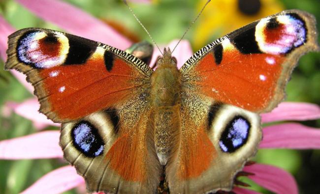 разновидности бабочек и их названия и фото Nasekom93_small
