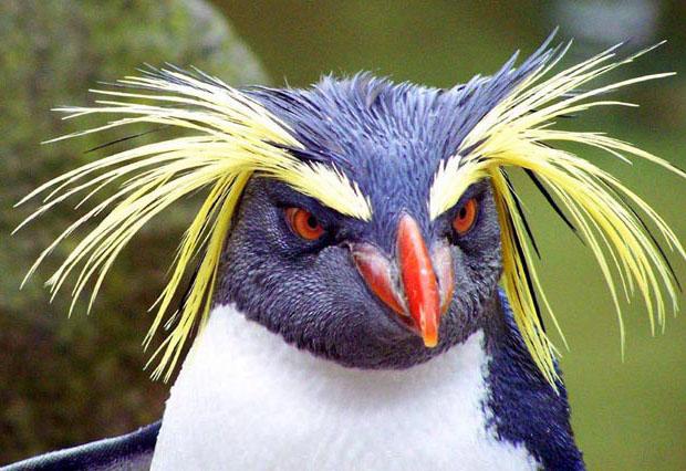 Пингвин с жёлтыми бровями