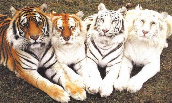 http://foto-zverey.ru/images/tigr_29_small.jpg