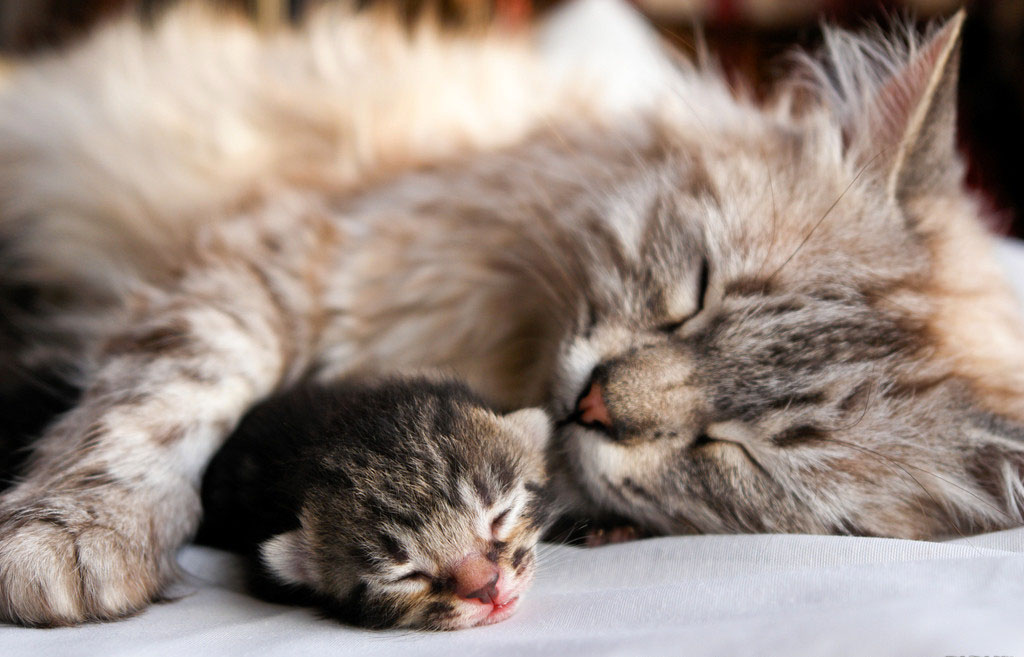 Картинки по запросу кошка мама