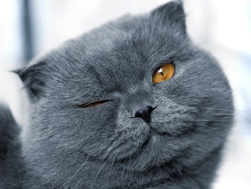 Картинки серых котят