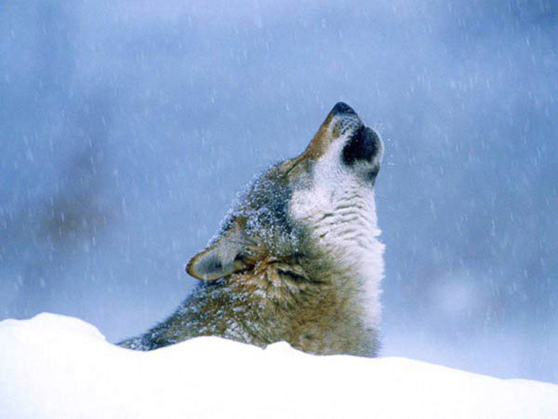 Фотографии и рисунки с волками