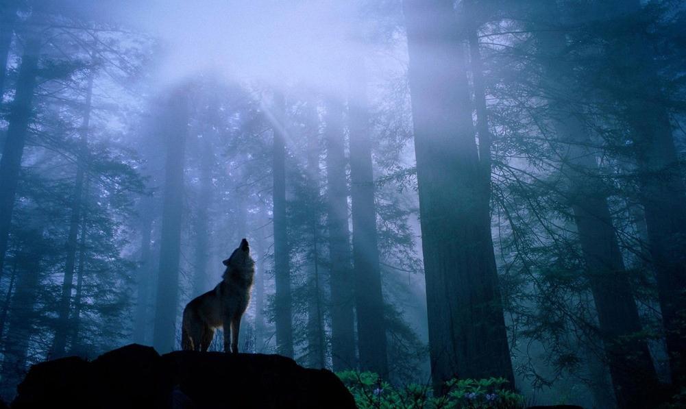 С волками в стаях и по одиночке