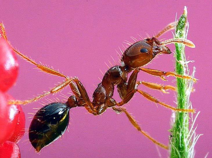 муравей под микроскопом фото