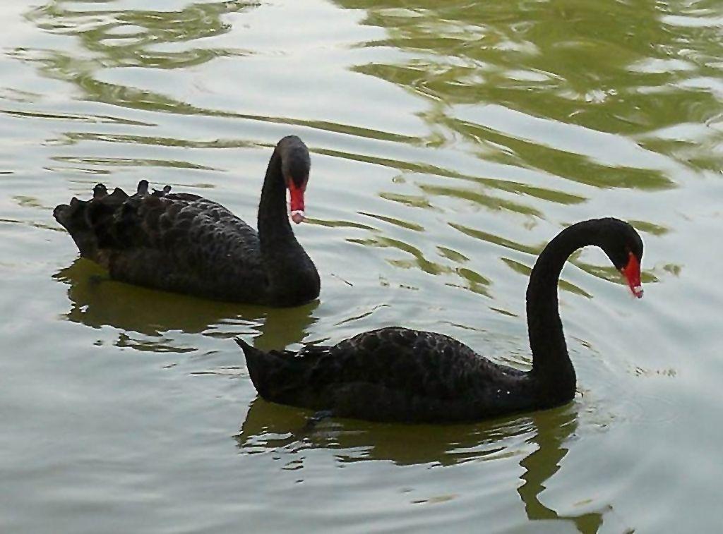 чрный лебедь под знаком непредсказуемости