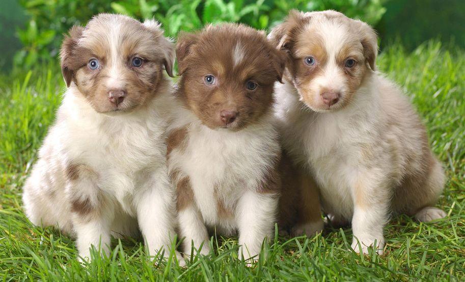 Pedigree пауч для щенков всех пород индейка